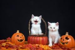 Halloween-katjes in pompoenmand Stock Foto's