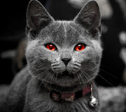 Halloween kitten. Evil red eye halloween cat Royalty Free Stock Photos