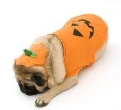 Halloween kostiumowe odpocząć mopsa Fotografia Stock