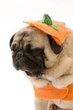 Halloween kostiumowe pug zmęczony Obraz Stock