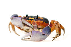 Halloween krabba Fotografering för Bildbyråer