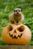 Halloween Meerkat Royalty Free Stock Images