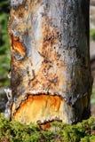 Halloween od tła blasku księżyca uwagi Straszny nieżywy drzewo z okiem i usta Obraz Royalty Free