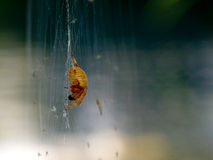 Perched Orange Spider Stock Image