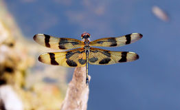 Everglades - Dragon Fly - Halloween Pennant  Stock Images