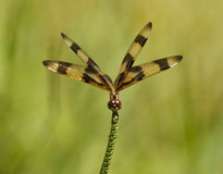 Halloween Pennant Dragonfly Royalty Free Stock Photo
