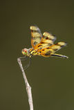 Halloween pennant dragonfly (Celithemis eponina) Royalty Free Stock Photo
