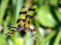 Halloween Pennant Dragonfly Royalty Free Stock Image