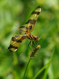 Halloween Pennant Dragonfly with Insect Wing Stock Photography