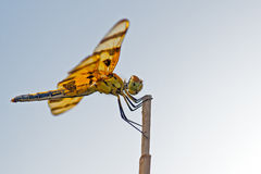 Halloween Pennant Dragonfly Royalty Free Stock Photos