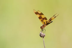 Halloween Pennant. Perched on a wildflower royalty free stock image