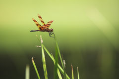 Halloween Pennant. A Halloween Pennant resting on a blade of grass Stock Images