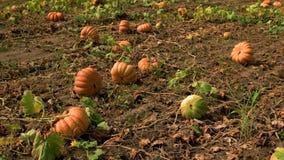 Halloween-pompoenen op landbouwbedrijf stock videobeelden