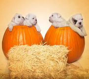 Halloween portrait - 4 puppies 2 pumpkins. Four English Bulldog puppies inside of two pumpkins for a cute Fall, Halloween portrait royalty free stock photos
