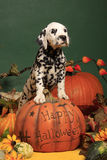 Halloween Pumpkin and Dalmatian dog puppy. Black spotted female dalmatian puppy standing on a halloween pumpkin royalty free stock images