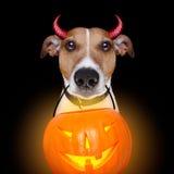 Halloween pumpkin devil dog isolated on black Stock Photos