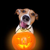 Halloween pumpkin dog isolated on black Stock Images