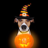 Halloween pumpkin dog isolated on black Stock Photography