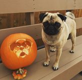 Halloween pumpkin dog and one handsome pug royalty free stock image