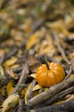 Halloween pumpkin in a fall nature environment stock images