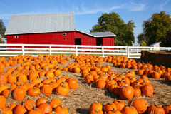 Halloween Pumpkin Farm Royalty Free Stock Image