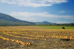 Halloween Pumpkin field Stock Photos