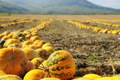 Halloween Pumpkin field Stock Images