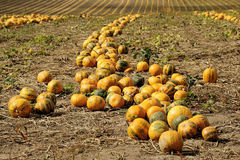 Halloween Pumpkin field. And mountains in the background Stock Image