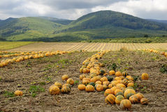 Halloween Pumpkin field Royalty Free Stock Photography