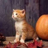 Halloween pumpkin jack-o-lantern and ginger kitten on black wood. Background stock images