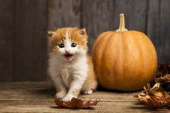 Halloween pumpkin jack-o-lantern and ginger kitten on black wood. Background Royalty Free Stock Image