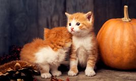 Halloween pumpkin jack-o-lantern and ginger kitten on black wood Royalty Free Stock Photography