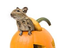 Halloween pumpkin mouse Royalty Free Stock Image