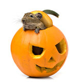 Halloween pumpkin mouse Royalty Free Stock Photo