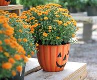 Halloween Pumpkin Mums. An arrangement of Halloween colored pumpkin mums in a Hallowwen flower pot Royalty Free Stock Photos