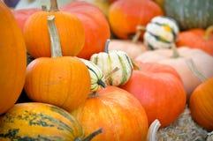 Halloween Pumpkin Patch royalty free stock image