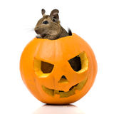 Halloween pumpkin with a rat inside Stock Images