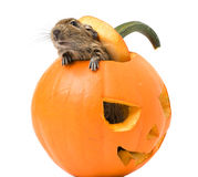 Halloween pumpkin with a rat inside. Halloween pumpkin closeup with funny rat inside isolated on white background Royalty Free Stock Image
