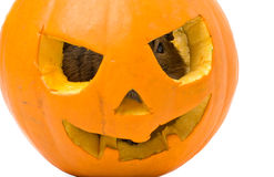 Halloween pumpkin with a rat inside Royalty Free Stock Photography