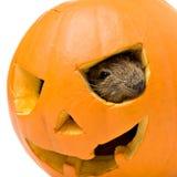 Halloween pumpkin with a rat inside Stock Image