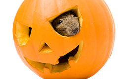 Halloween pumpkin with rat inside isolated on white Stock Photography
