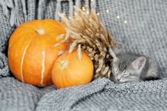 Halloween pumpkin and sleeping gray kitten on a gray background. royalty free stock photography