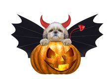 Halloween pumpkin witch cute shitzu dog in bat costume - isolated on white Stock Image