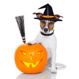 Halloween pumpkin witch dog. With a broom Royalty Free Stock Photos
