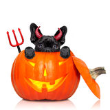 Halloween pumpkin witch dog Royalty Free Stock Photography