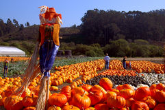 Halloween Pumpkins. Captured in Half Moon Bay California royalty free stock photo