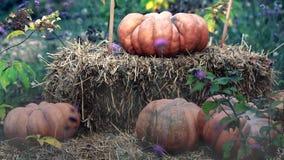 Halloween Pumpkins. And Haystack. Halloween Background - HD Video