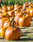 Halloween pumpkins in a rural field Royalty Free Stock Photos