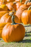 Halloween pumpkins in a rural field Royalty Free Stock Image