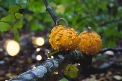 halloween pumpor två Royaltyfri Fotografi